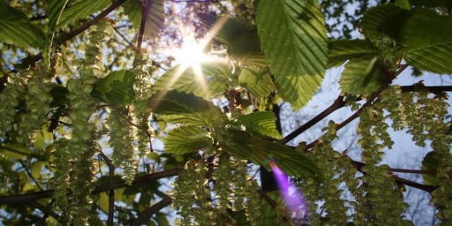 Erleichterung im Frühling: Kortison gegen Heuschnupfen *