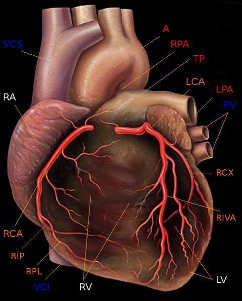 Darstellung des menschlichen Herzens von vorne