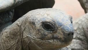 Asiaten mit Koro-Syndrom fürchten das Verschwinden Ihrer Genitalien im Körper ähnlich des Zurückziehens einer Schildkröte in ihren Panzer.