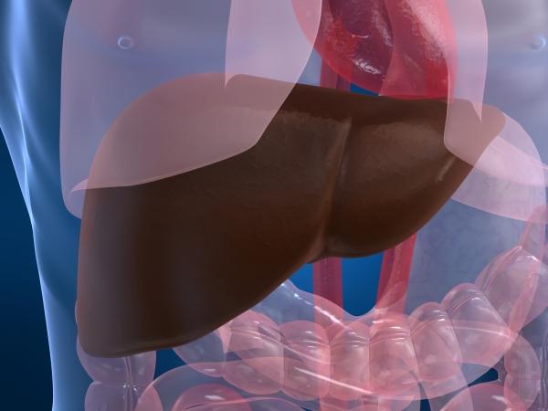 Von der Kupferspeicherkrankheit ist hauptsächlich die Leber betroffen.