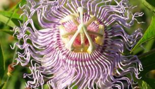 Die Passionsblume Passiflora Incarnata kann Schlafstörungen durch Stress und nervöse Unruhe helfen - apotheken-wissen.de