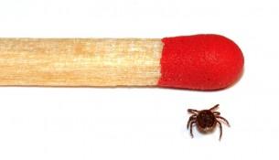 Eine Männliche Zecke im Größenvergleich mit einem Streichholz *Männliche Zecke im Größenvergleich mit einem Streichholz - apotheken-wissen