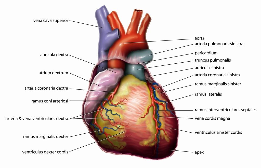 Video: Blutfluss durch das Herz, Herz-Video | apotheken-wissen.de