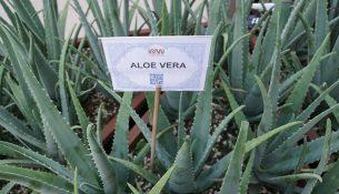 Aloe Vera Pflanze - apotheken-wissen.de