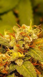 Cannabis-Blüte - apotheken-wissen.de
